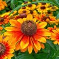 Гайлардия: как правильно посадить растение и особенности ухода за однолетниками