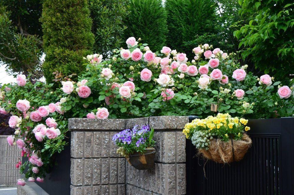 это плетистые розы в ландшафте фото разные, характер них