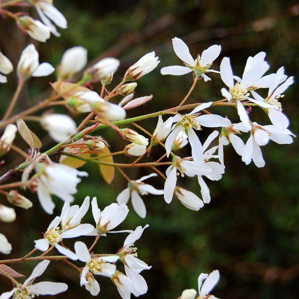 Ягода ирга: все секреты посадки, ухода и размножения «винной ягоды»