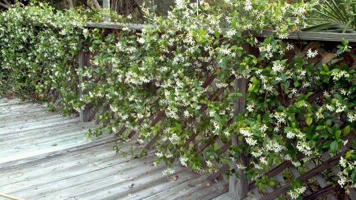 Быстрорастущая живая изгородь (65+ фото с названиями): лучшие многолетние и вечнозеленые растения и кустарники
