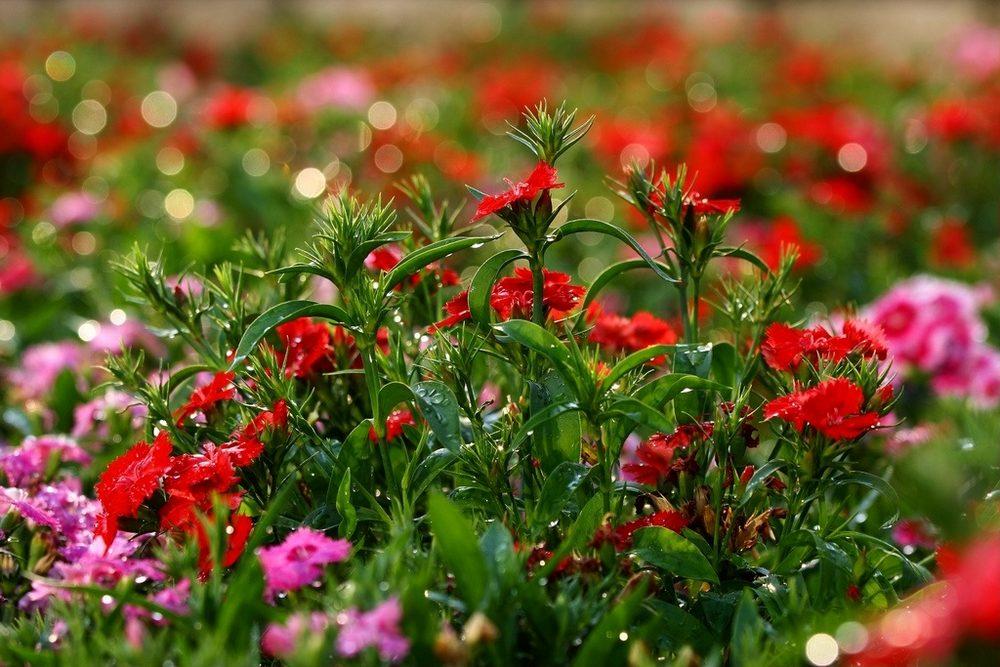 Турецкая гвоздика (60+ фото цветов): все секреты посадки, ухода и защиты от вредителей