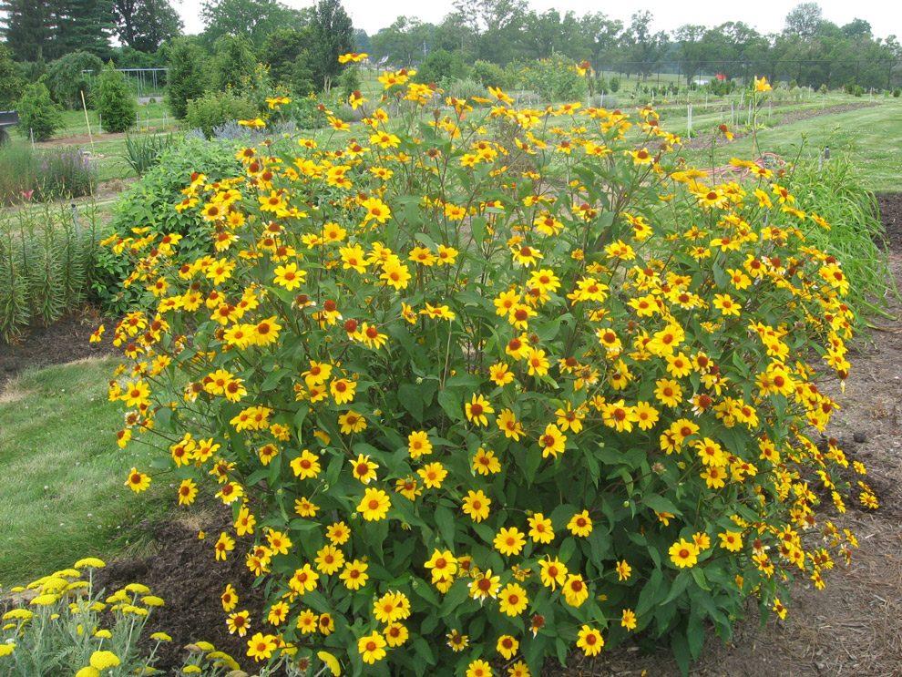 Гелиопсис (60+ фото цветка): сорта с описанием, пошагово посадка и уход в открытом грунте, выращивание и размножение