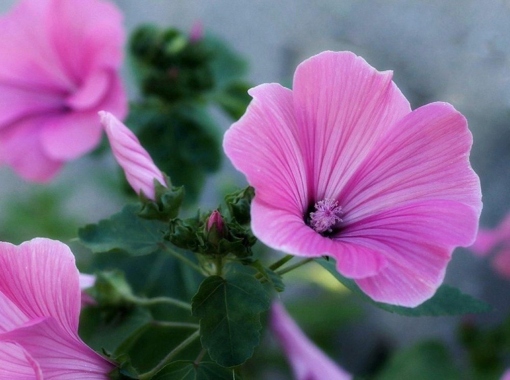 Цветы лаватера фото