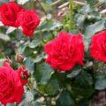 Как ухаживать за розами осенью? Посадка, обрезка, подкормка и подготовка к зиме — советы садоводов