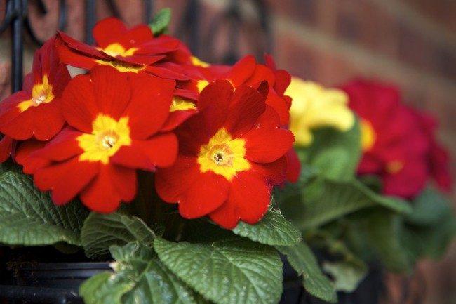 Примула многолетняя, посадка и уход (60 фото): как вырастить цветы небесной красоты