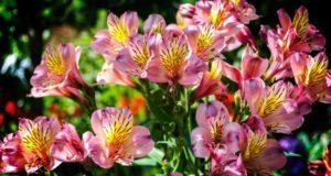 Альстромерия (50 фото): яркая и привлекательная лилия инков